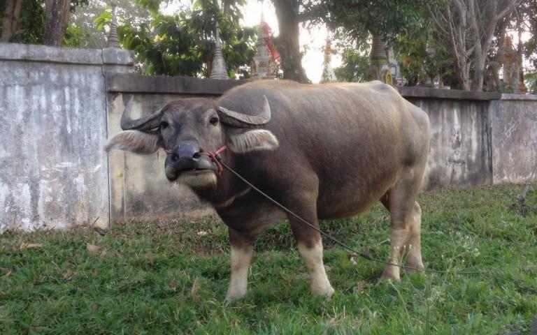 Крутой исанский буйвол