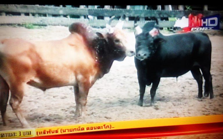 Бои животных в Таиланде
