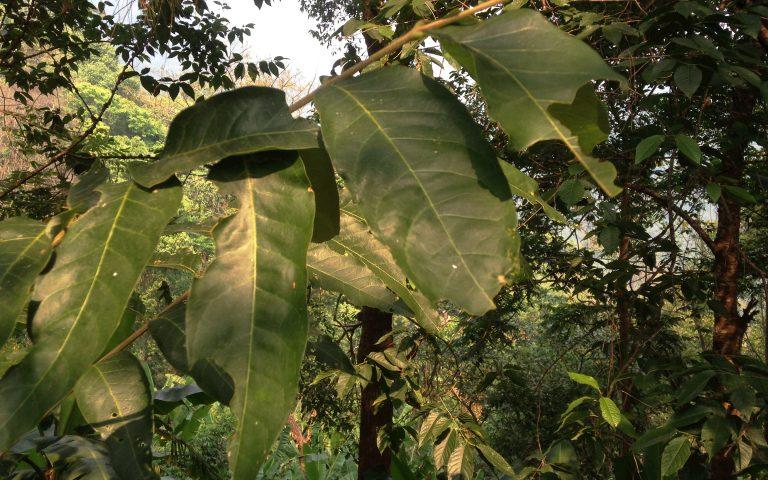 Реликтовый лес Северного Таиланда 5