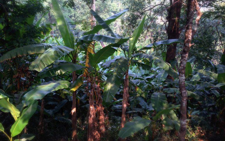 Реликтовый лес Северного Таиланда 6
