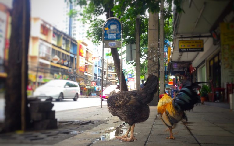 Петухи на улицах Бангкока