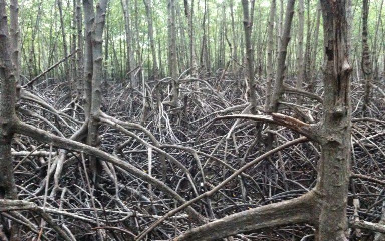 Мангровый лес 2
