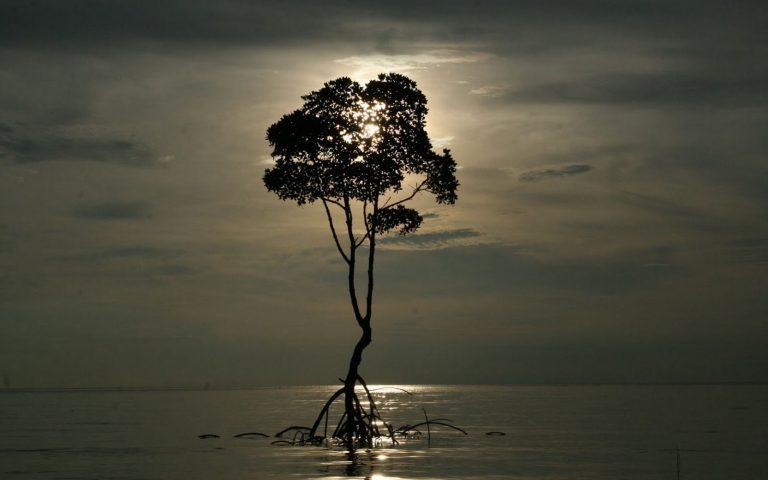 Мангровое дерево в Андаманском море