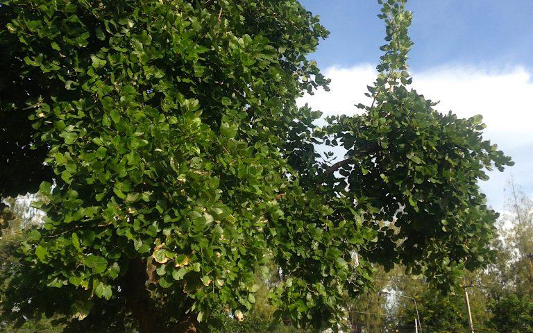 Молодое дерево бодхи