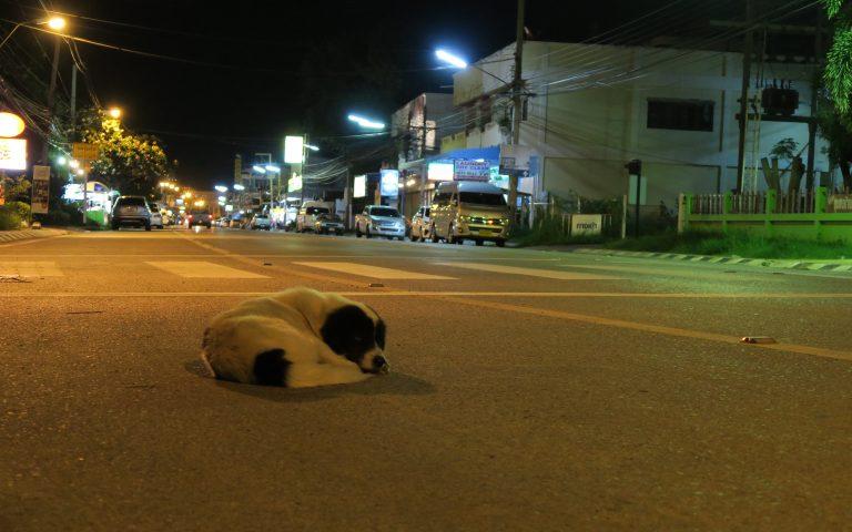 Почему тайские собаки спят на проезжей части?