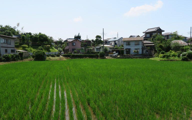 Рисовые поля в черте города