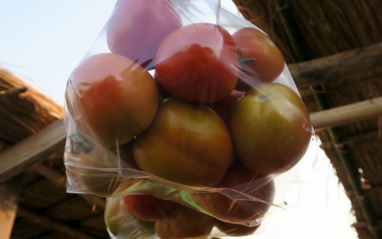 Лаосские внехимические помидоры