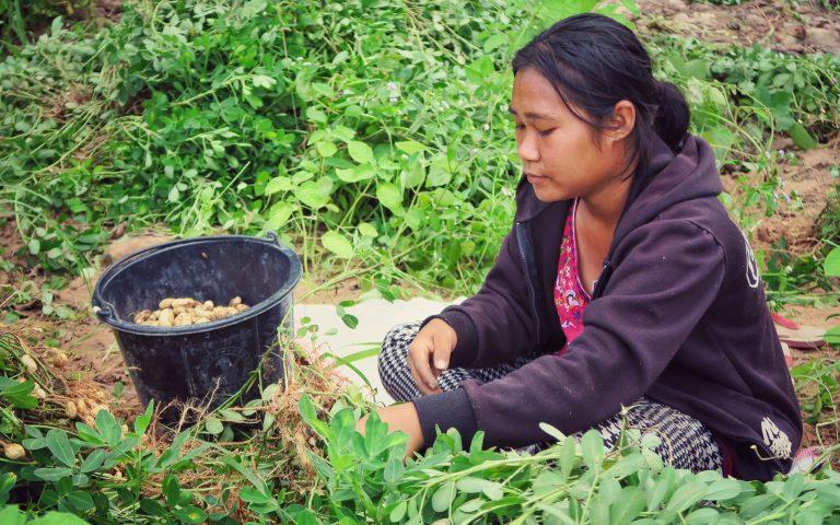 До́быча арахиса в Таиланде 3