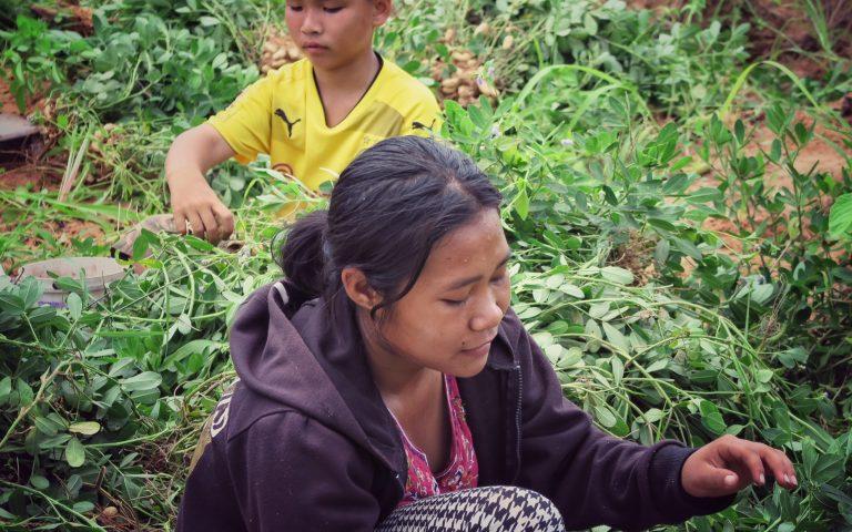До́быча арахиса в Таиланде