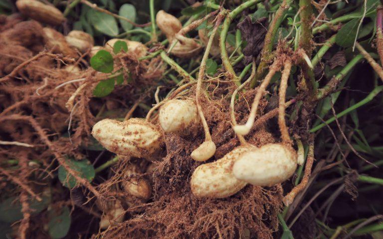 До́быча арахиса в Таиланде 2