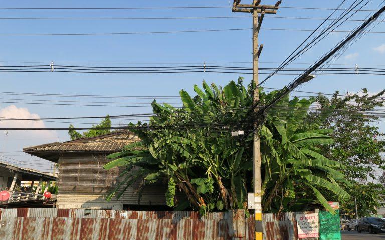 Банановое дерево-долгожитель-гигант