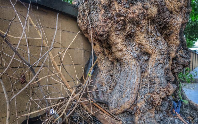 Дерево поглощает забор
