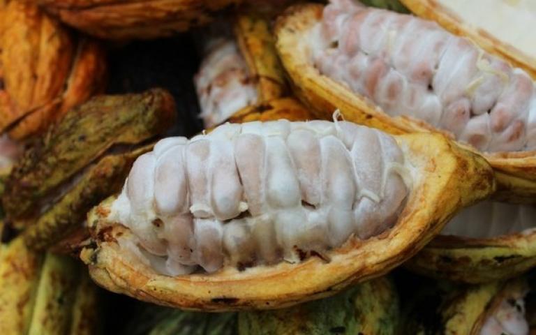 Какао-трип: 1500 км